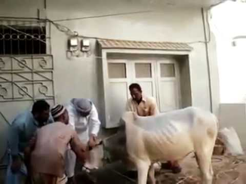 Cow on Eid Ul Adha Before Slaughter